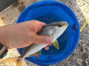 大島でアジ釣り