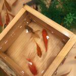 浅草で金魚すくい