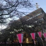 もう目黒川のさくらは葉桜